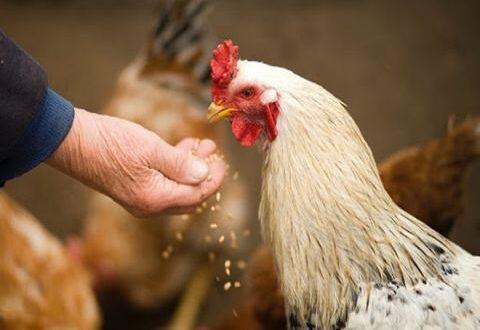 هل ستنخفض أسعار البيض والفروج مع بدء التحرك لاستيراد الأعلاف