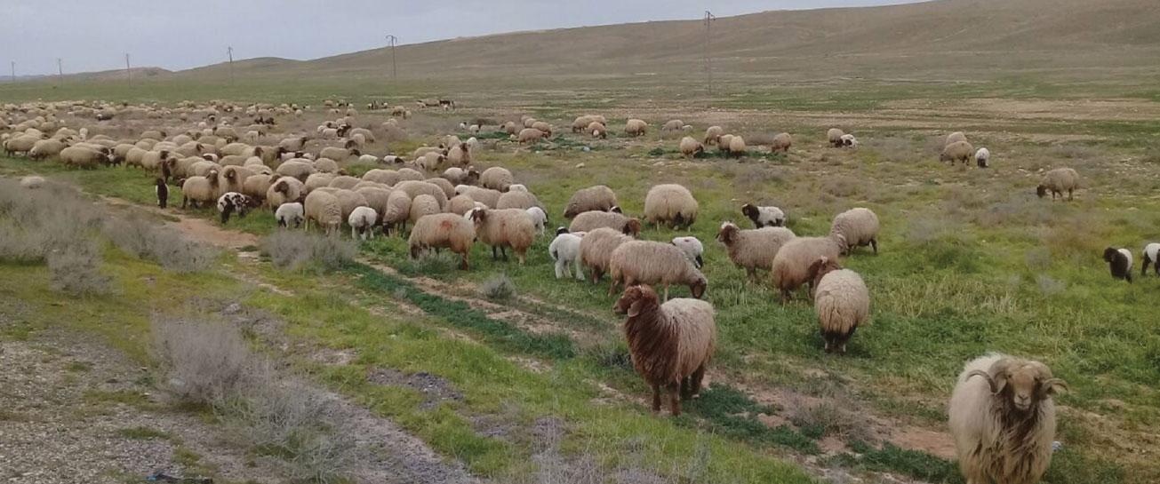 «الزراعة» تتحدث عن كارثة تهدد الثروة الحيوانية في سوريا!