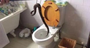 """رجل تايلندي يتعرض لصدمة بعد خروج تعبان مميت من """"مرحاض"""" يجلس عليه"""