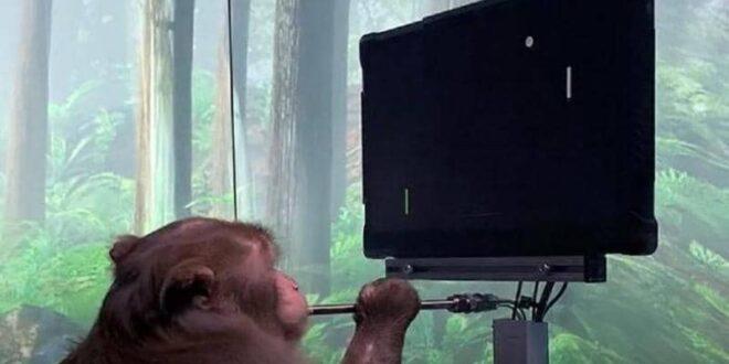 فيديو لا يصدق.. قرد يلعب ببراعة بعد زراعة شريحة في دماغه
