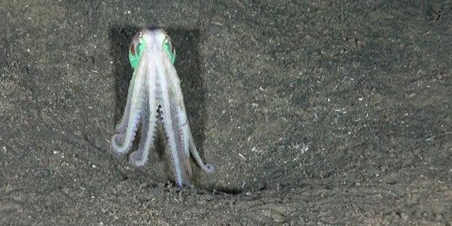 """العثور على نوع جديد من """"الأخطبوط العملاق"""" في المحيط الهادئ... صورة"""