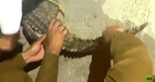 شاهد.. السيطرة على تمساح يتجول في السعودية