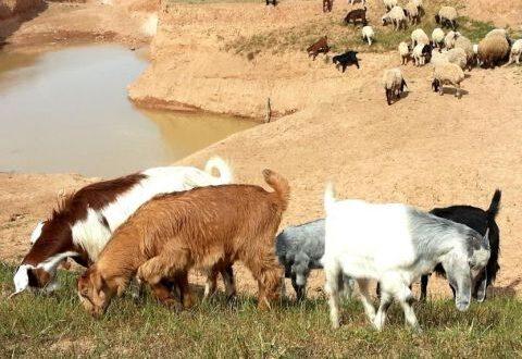 غرفة زراعة دمشق وريفها تطالب بتصدير ذكور الماعز