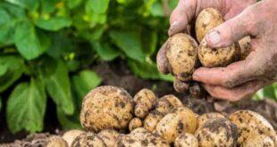 انخفاض مرتقب بأسعار البطاطا..والخسارة قد تطال الفلاح