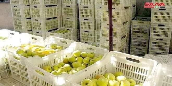 تصدير نحو 200 طن من التفاح السوري لأسواق الخارجية