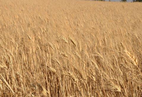 مليون طن من القمح الروسي قيد التوريد
