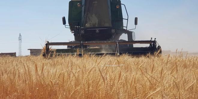 الحكومة السورية توافق على توصيات لإنقاذ موسم القمح