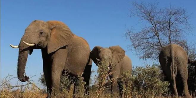 قدرات خارقة يتمتع بها خرطوم الفيل