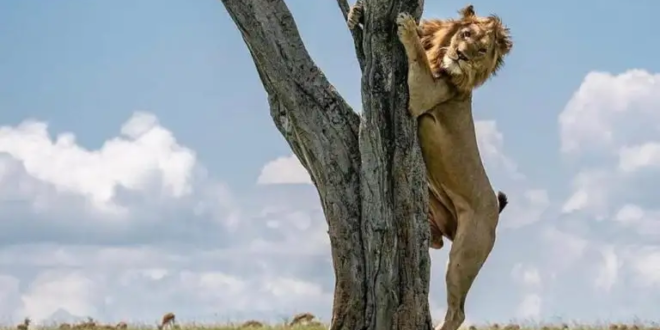 """بالصور..أسد """"جبان """"يتسلق شجرة للهروب من هذا التهديد"""