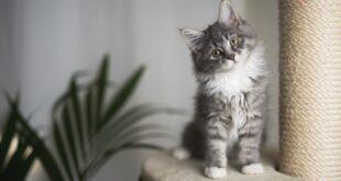 قطة صغيرة خفيفة الظل تُقلّد حركات عسكرية تشعل مواقع التواصل.. شاهد!