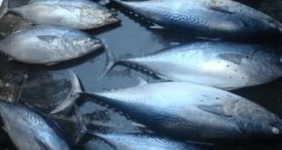 10 حالات تسمم غذائي بسمك البلميدا خلال أسبوع في جبلة