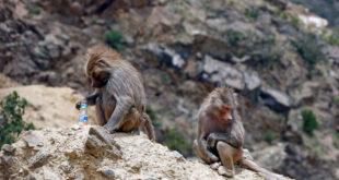 قطعان من القردة تقض مضاجع سكان منطقة سعودية.. شاهد!