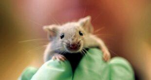 إسبانيا.. فأر يقتحم جلسة برلمان ويثير فوضى بين النواب (فيديو)