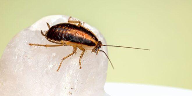 15 مادة للتخلص من الصراصير الموجودة بالمنازل