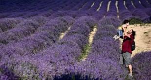 """مشاهد ساحرة.. أزهار """"اللافندر"""" تغمر إيطاليا"""
