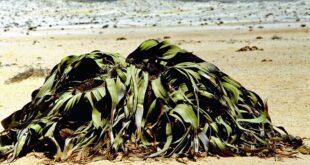 """دراسة تحل لغز نبات """"لا يموت"""" يعيش في أقدم صحراء في العالم"""