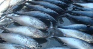"""21 حالة تسمم غذائي بسمك """"البلميدا"""" في اللاذقية"""
