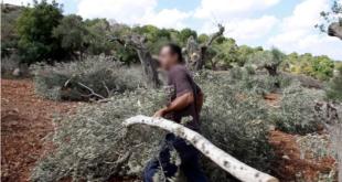 تجار مجهولون يدفعون 200 ألف مقابل اقتلاع كل شجرة زيتون من جذورها في ريف طرطوس!
