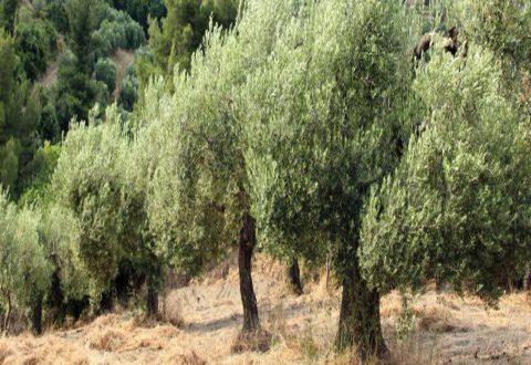 تراجع إنتاج الزيتون 24 بالمئة بسبب الجفاف