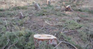 كارثة جديدة بحق الحراج.. قطع 460 شجرة معمّرة في موقع القينة بالسويداء