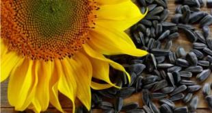 فوائد صحية غير معروفة لبذور عباد الشمس