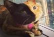 """قطة ذات وجهين تأسر قلوب رواد """"تيك توك"""