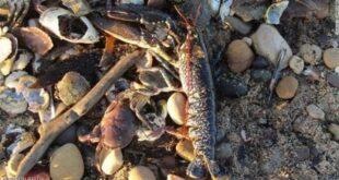 آلاف المخلوقات ميتة على الشاطئ.. ماذا يحدث في بريطانيا؟